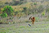Deer in Khao Yai Nationalpark, Province Khorat, Thailand, Asia