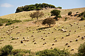 Flock of sheep on a sunlit meadow at a mountainside, Sardinia, Italy, Europe