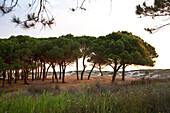 Grove of pine trees behind the dunes in the morning, Posada, Sardinia, Italy, Europe