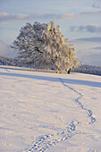 Tracks in snow and snow covered trees, Schauinsland, Black Forest, Baden Wurttemberg, Germany, Europe
