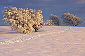 Tracks in snow and now covered trees, Schauinsland, Black Forest, Baden Wurttemberg, Germany