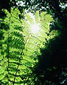 Blätter eines Silberfarns im Sonnenlicht, Abel Tasman Nationalpark, Nordküste, Südinsel, Neuseeland