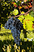 Close of grapes on the vine, Friuli-Venezia Giulia, Italy