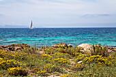 Küstenlandschaft mit Blumen unter Wolkenhimmel, Platja d'es Caragol, Mallorca, Balearen, Mittelmeer, Spanien, Europa