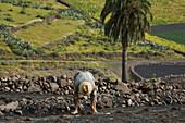 Bauer beim Pflanzen, Trockenfeldbau, Lapili-Felder, Valle de Temisa, near Tabayesco, UNESCO Biosphärenreservat, Lanzarote, Kanarische Inseln, Spanien, Europa
