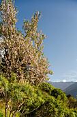 Almond tree with blossom near La Caldera, above the Barranco de las Angustias gorge, National Parc, Parque Nacional Caldera de Taburiente, giant crater of an extinct volcanio, Caldera de Taburiente, natural preserve, UNESCO Biosphere Reserve, La Palma, Ca