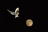 Barn Owl and full Moon Norfolk December