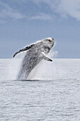 Humpback whale (Megaptera novaeangliae) leaping into the air,  rotating and landing on its back or side to create a chin-slap. Frederick Sound,  Alaska,  USA