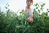 Girl (6-7 years) picking pea pods, Lower Saxony, Germany