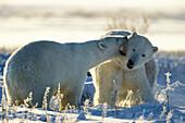 Polar Bears playing, Ursus maritimus, Churchill, Canada