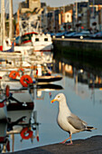 Seagull On The Marina Of Fecamp, Seine-Maritime (76), Normandy, France