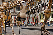 Brachiosaurus Brancai 23 M Long, Museum Of Natural History, Museum Fur Naturkunde, Berlin, Germany