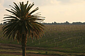 Vineyards Near Casablanca, Terroir Of Benslimane, Morocco, Maghrib, North Africa