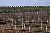 Vineyards Near Casablanca, Terroir Of Rommani. Metal Stakes, Morocco, Maghrib, North Africa