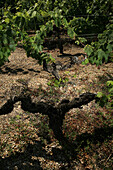 Petit-Verdot Grapevines Planted In 1902, At The Chateau Fieuzal In Graves, Gironde (33)