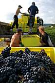 Grape Harvest In The Vineyards Of Ay, Marne (51), France