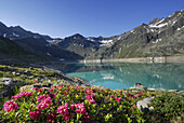 Alpine roses blooming at Finstertal reservoir, Sellrain, Stubai Alps, Tyrol, Austria