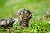 Alpine marmot (Marmota marmota) eating, Stubai, Stubai Alps, Tyrol, Austria