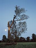 Abgebrochener Ast bei einer Pappel im Mondlicht, Düsseldorf, Nordrhein-Westfalen, Deutschland