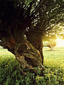 Pastureland with pollard willow trees, Rhine, Dusseldorf, North Rhine-Westphalia, Germany