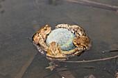 Toads cling to Tennis Ball in Mating Season, Bufo bufo, Germany, Munich, Bavaria