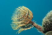 Small Spiral Tube Worm, Spirographis spallanzani, Croatia, Istria, Adriatic Sea, Mediterranean Sea