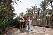 Fellah carry Palm Leafs with Camel, Egypt, Abusir