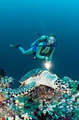 Hawksbill Sea Turtle and Diver, Eretmochelys imbricata, Maldives, Kandooma Thila, South Male Atoll