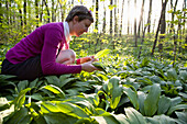 Woman picking ramsons in alluvial forest, Leipzig, Saxony, Germany
