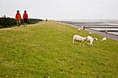 Tourists walking along dike with grazing sheep, Utersum, Foehr island, Schleswig-Holstein, Germany