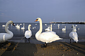Swans at the mole of Sopot, Poland, Europe