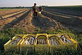 asparagus harvest, rows, vegetable, workers