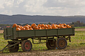 trailer with pumkins, colorful, field near Hannover, Lower Saxony
