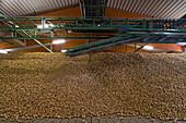 unlaoding onions Uetze-Dollbergen, warehouse, Uetze-Dollbergen, Lower Saxony, northern Germany