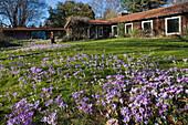 crocus flowers, garden, lawn