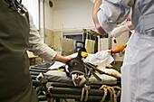 Veterinary surgeons operate on a calf, University of Veterinary Medicine, TiHo, Hanover, Lower Saxony, Germany