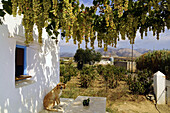 Vineyard and grapes above a porch, island of Naxos, the Cyclades, Greece, Europe