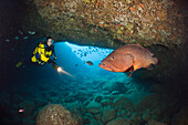 Scuba Diver and Dusky Grouper in Cave, Epinephelus marginatus, Dofi North, Medes Islands, Costa Brava, Mediterranean Sea, Spain