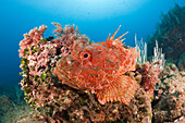 Great Rockfish, Scorpaena scrofa, Les Ferranelles, Medes Islands, Costa Brava, Mediterranean Sea, Spain