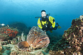 Scuba Diver and Dusky Grouper, Epinephelus marginatus, Les Ferranelles, Medes Islands, Costa Brava, Mediterranean Sea, Spain