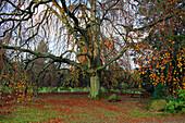 Buche, Schlosspark im Herbst, Schloss Lembeck, Dorsten, Münsterland, Nordrhein-Westfalen, Deutschland