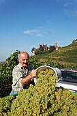 Man harvesting grapes, Vintage, Ortenberg castle in background, Ortenberg, Baden-Wurttemberg, Germany
