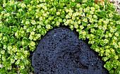 Felsbrocken mit Pflanzen, Island