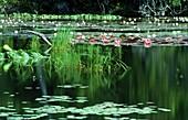 Weiße Seerosen und Blätter auf der Wasseroberfläche eines teiches, Botanik, Natur
