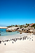 Colony of african penguins on Boulders Beach, Cape Town, Cape Peninsula, Western Cape, South Africa, Africa