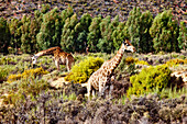 Two Giraffes, Safari, Aquila Lodge, Cape Town, Western Cape, South Africa, Africa