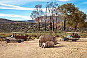 Tourists watching two rhinoceroses on a safari, Aquila Lodge, Cape Town, Western Cape, South Africa, Africa