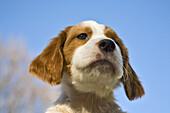 8 week old Red Irish Setter puppy