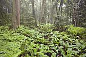 0604494 Western Red Cedars in wetland w/ Skunk Cabbage & Sword Ferns Thuja plicata,  Lysichiton americanus,  Polystichum munitum Stimpson Family Nature Reserve,  Bellingham,  WA © Mark Turner