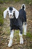 Domestic Goat Capra aegagrus hircus